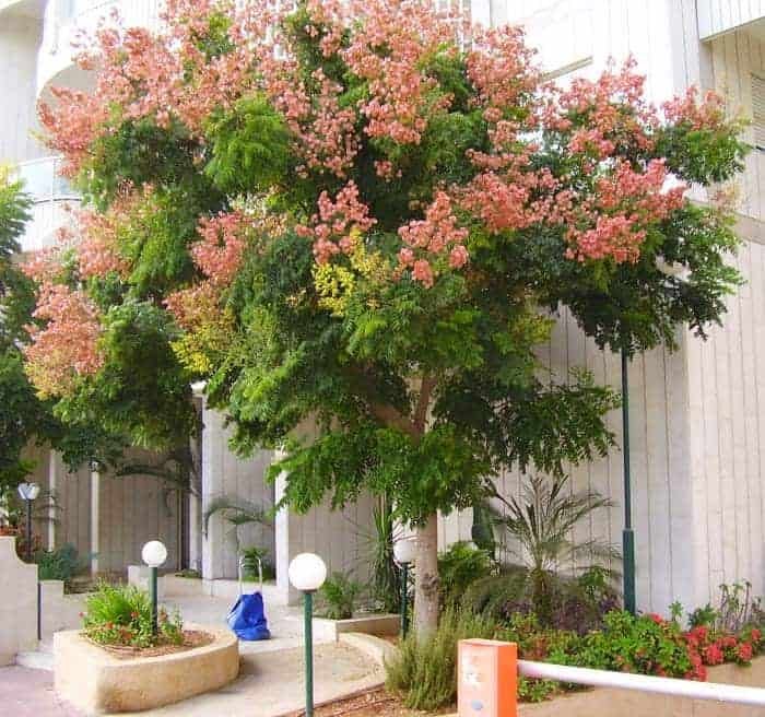 Chinese Flame Trees Garden View Landscape Nursery Amp Pools