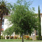 Coast California Live Oak Tree - Quercus agrifolia
