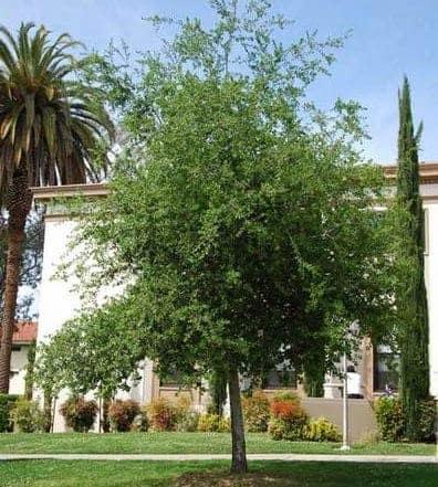 CoastCaliforniaLiveOakTree Quercusagrifolia