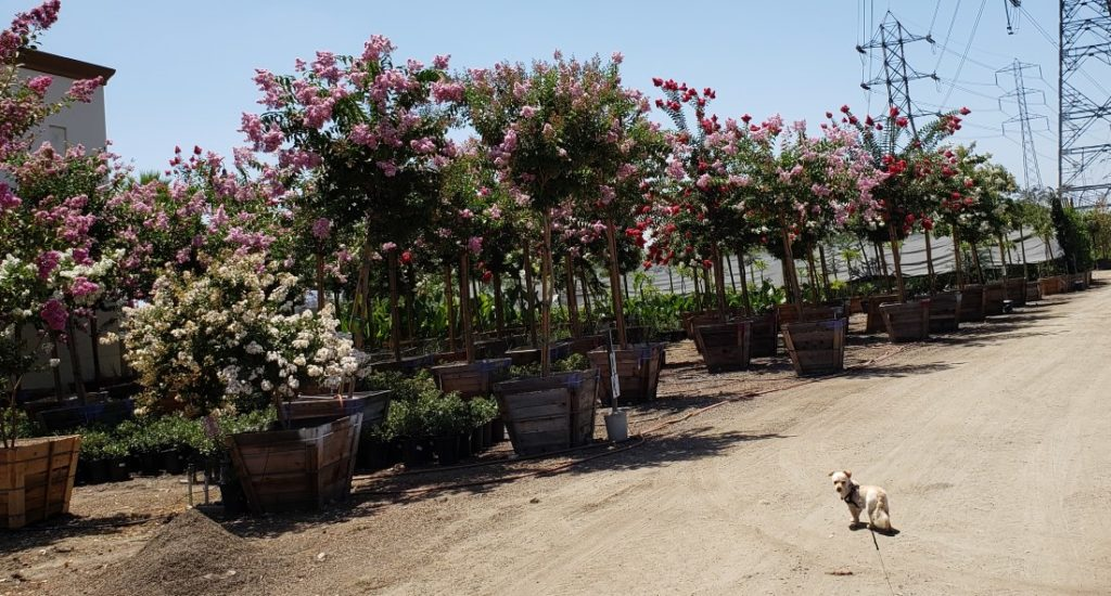Rows of Crape Myrtle Trees with dog