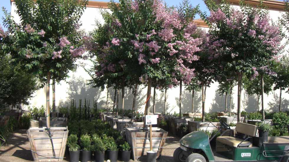 pink crape Crape myrtle trees