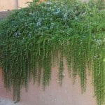 Creeping Rosemary Shrub hanging over wall