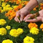 Deadheading - woman pulling off spent orange and yellow flowers