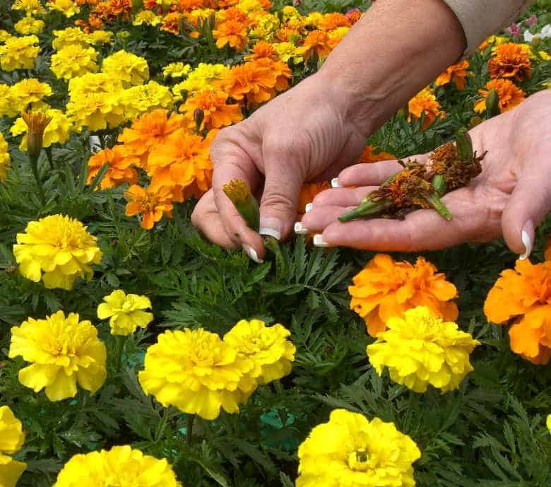 Deadheading To Extend Bloom And Annual Flower Life