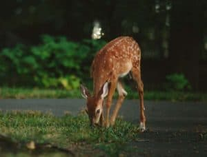 deer eating grass - a potential threat to your landscape