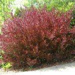 Dodonaea Purple Hopseed