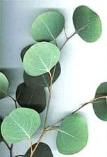 Eucalyptus polyanthemos leaves closeup