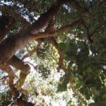 upshot of a Silver Dollar Gum Tree - Eucalyptus polyanthemos