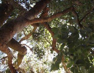 upshotofaSilverDollarGumTree Eucalyptuspolyanthemos