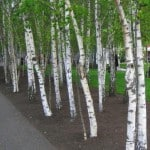 European White Birches planted in a row