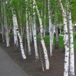 European White Birches planted in a row