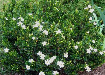 Everblooming gardenia veitchii