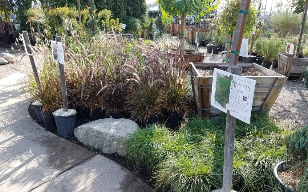Retail Area feather grass and mondo grass