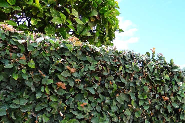 Ficus pumila creeping fig growing over a wall