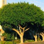 ficus nitida tree on street