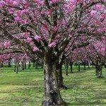 Flowering Cherry Tree - Prunus serrulata