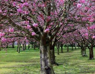 FloweringCherryTree Prunusserrulata