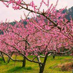 flowering peach trees - Prunus persica