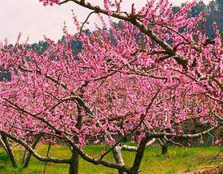 flowering peach trees Prunus persica