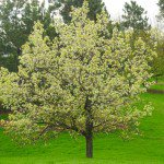 flowering pear tree in grass - Pyrus calleryana