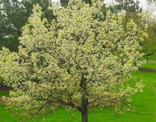 floweringpeartreeingrass Pyruscalleryana