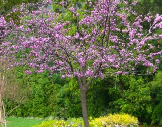 Forest Pansy eastern redbud tree