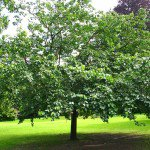 Fruitless mulberry tree Morus alba