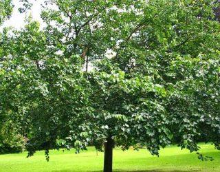 Fruitless mulberry tree Morus alba