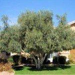 Fruitless Olive Tree - Olea europaea