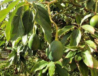 Fruiting Avocado Tree Closeup