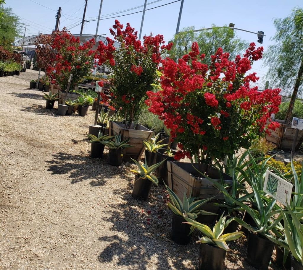 Crape Myrtles at front section of Garden View Nursery