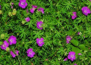 Purple flowers of Geranium sanguineum Bloody Cranesbills