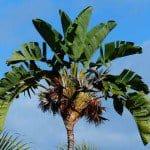 Giant Bird of Paradise Palm Tree - Strelitzia nicolai