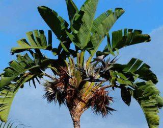 Giant Bird of Paradise Palm Tree Strelitzia nicolai