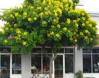 gold medallion tree Cassia leptophylla