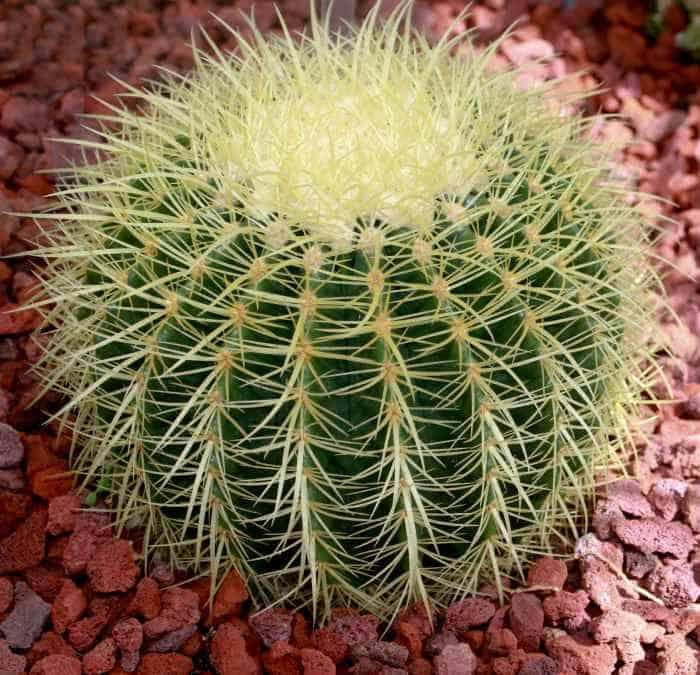 Echinocactus grusonii Barrel Cactus