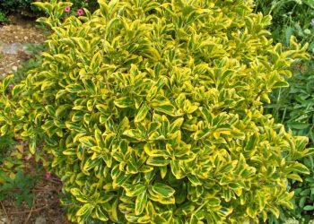 Golden Euonymus shrub form