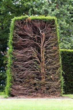 properly pruned hedge
