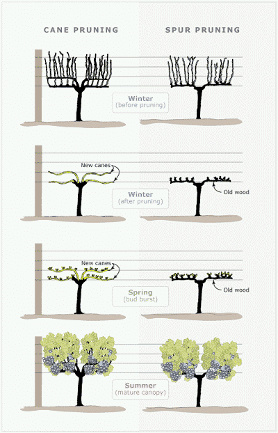 Spur and Cane Pruning Diagram for Grapes