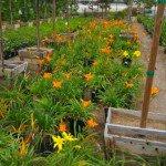 Hemerocallis Daylily plants