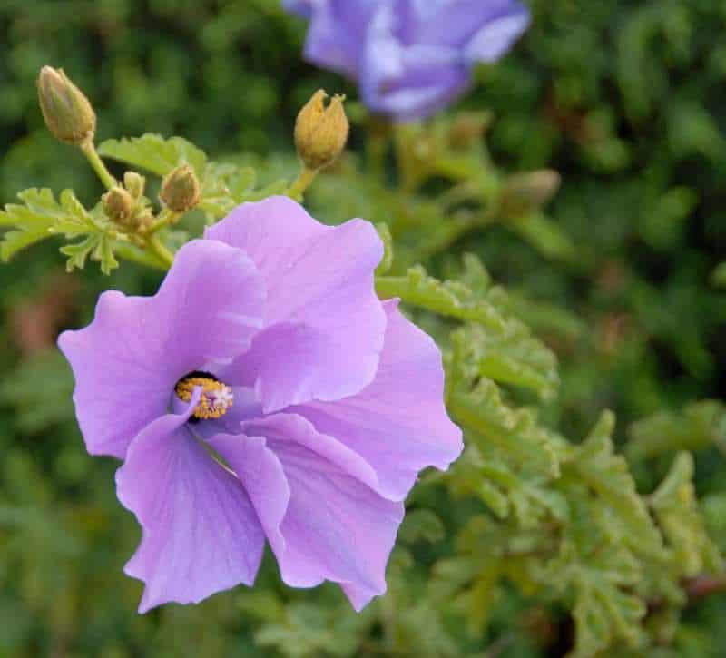 Purple flower closeup of Hibiscus Alyogyne huegelii