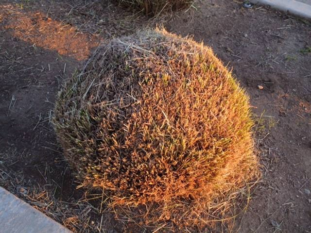 close-up of improperly pruned grass, in a bulb fashion