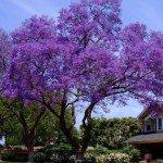 Jacaranda Tree - Jacaranda mimosifolia