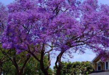 Jacaranda Tree Jacaranda mimosifolia