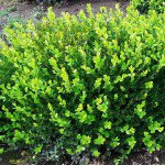 Japanese Boxwood Shrub Form