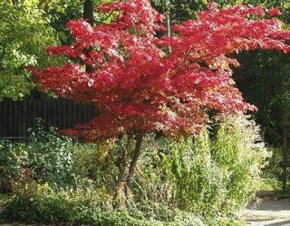 Japanese maple Tree Acer palmatum