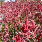 Kangaroo Paw shrub closeup