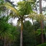 King Palm Tree - Archontophoenix cunninghamiana