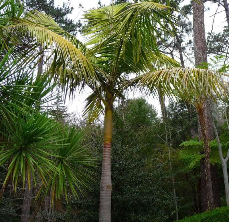King Palm Tree - Archontophoenix cunninghamiana