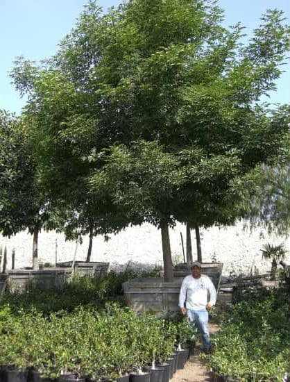 Large Boxed Ash Tree